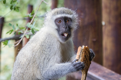Vervet Monkey with Sandy's toast
