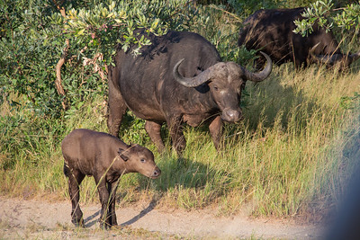 Mom and baby buffalo walking together