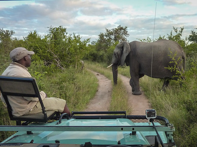 Our tracker waits for the elephant to cross the road
