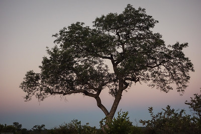 amarula tree that produce a wonderful liquor