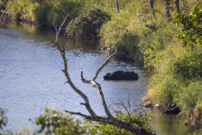 sighting water buffalo in river outside our cabin