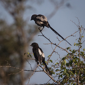 magpies, settling in