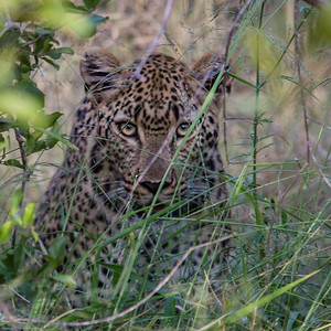Leopard staring out at us from the grass