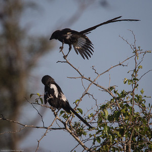 magpies greeting one another