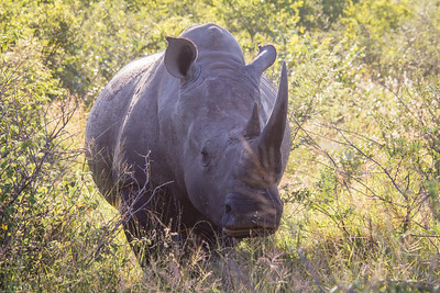 black rhino, one of the big five