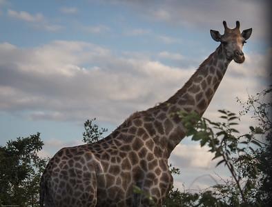 Southern African Giraffe