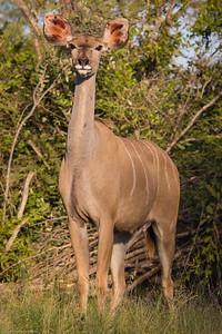 female nyala