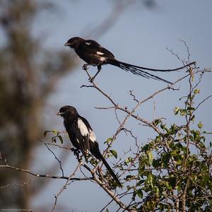 magpie shrike (african  longtail shrike)