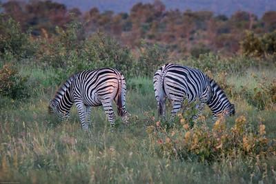 zebra book ends