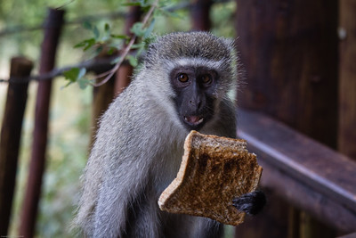 vervet monkey caught bread-handed