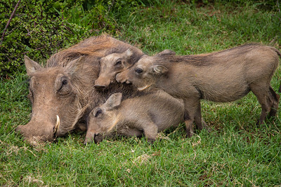 Warthog family: Let me close to mom!