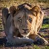 Crouching lioness