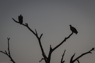 two vultures at dusk