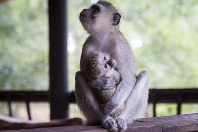 mom and baby vervet monkey