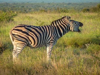 Plains zebra braying