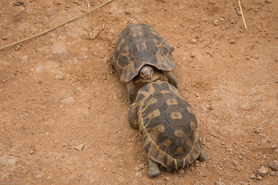 two tortoises  having a shoving match