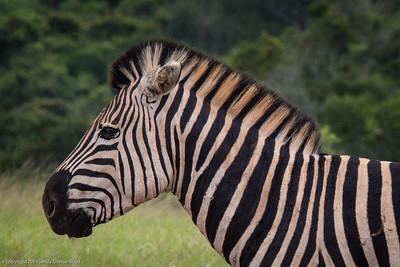 plains zebra profile
