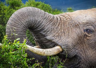 Addo Elephant