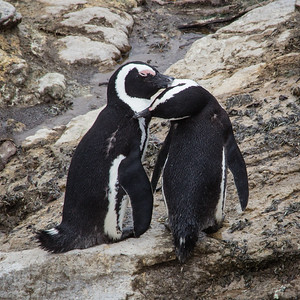 two penguins preening one another