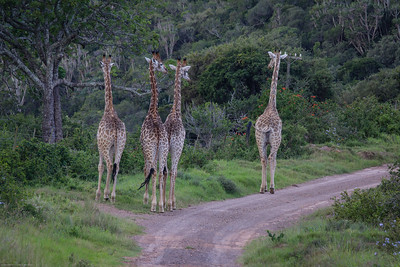 four strolling giraffes