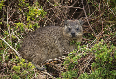 dassie. small mammal that lives in rock crevices