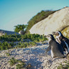 Penguin couple at the Cape Peninsula.  Did you catch what Trump said last night?