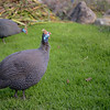 Guinea Fowl at Kirstenbosch National Botanical Garden.