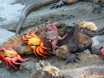 Galapagos Marine Iguana and Sally Crabs