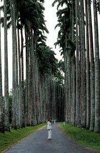 AVENUE OF THE ROYAL PALMS, PERADENIYA - 1975