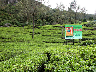 TEA PLANTATION - NUWARA ELIYA