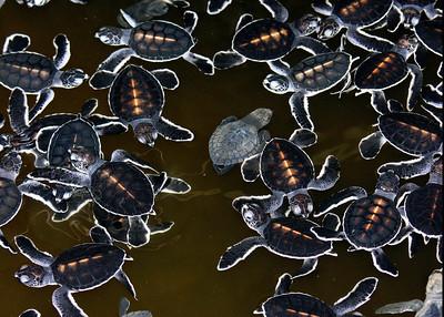 GREEN TURTLES - GALLE