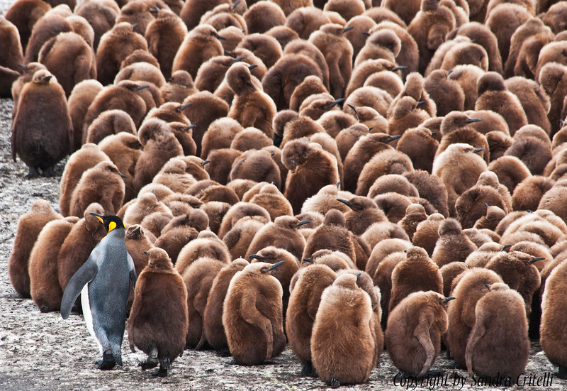 King Penguins colony