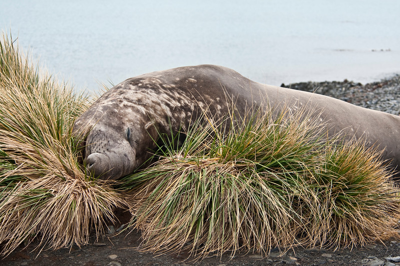 Elephant Seal, male