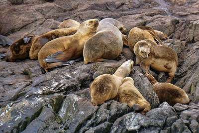 SOUTHERN SEA LIONS - BEAGLE CHANNEL