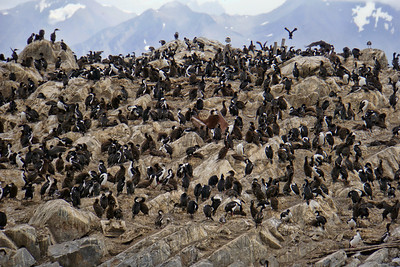 IMPERIAL SHAGS - BEAGLE CHANNEL