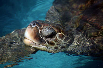 GREEN SEA TURTLE - PRAIA DO FORTE