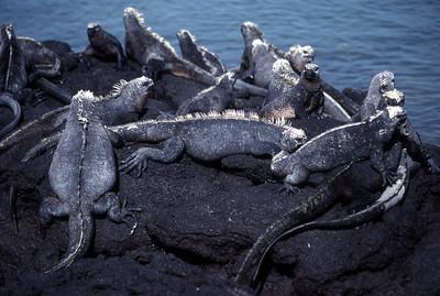 MARINE IGUANA - FERNANDINA ISLAND
