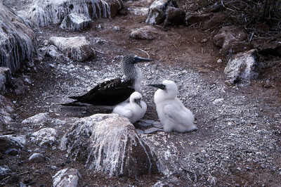 BLUE FOOTED BOOBIES - ESPANOLA