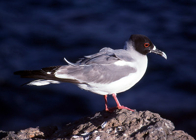 SWALLOWTAILED GULL