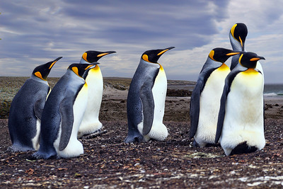 KING PENGUINS - BLUFF COVE