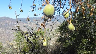 Buckeye seed pods