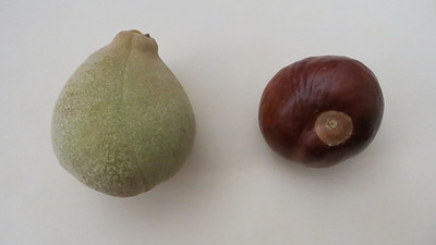 Buckeye seed pod and seed