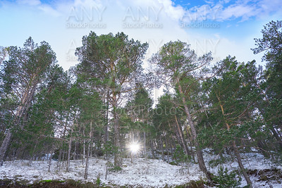 Virgen de la Vega snow pine forest in Teruel at Spain