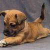 Hound Puppy 1