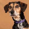 Jack the Beagle