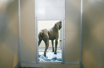 Neo-mastiff-27