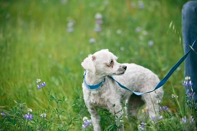 88703- white poodle-23