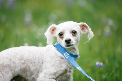 88703- white poodle-28