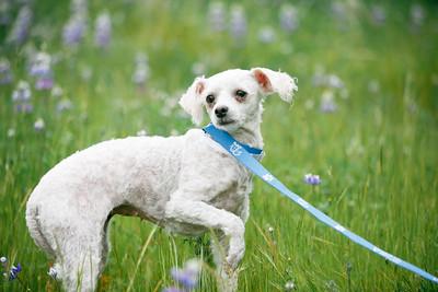 88703- white poodle-26