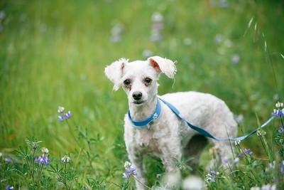 88703- white poodle-24